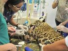 O filhote foi trazido para o Hospital Veterinário da UFMS, em Campo Grande, onde passou por uma bateria de exames e recebeu os primeiros socorros