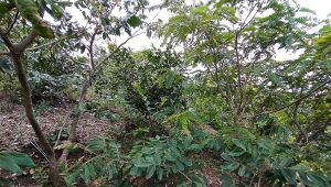 Foram replantados 430 hectares de Mata Atlântica na região da Nova Tamoios