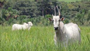 Em julho, o preço pago pela arroba do boi gordo em Mato Grosso do Sul fechou valendo R$ 131,77