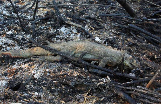 Animais são os mais prejudicados com as queimadas no Pantanal sul-mato-grossense