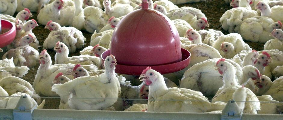 Vinte unidades não poderão exportar carne de aves do Brasil para UE