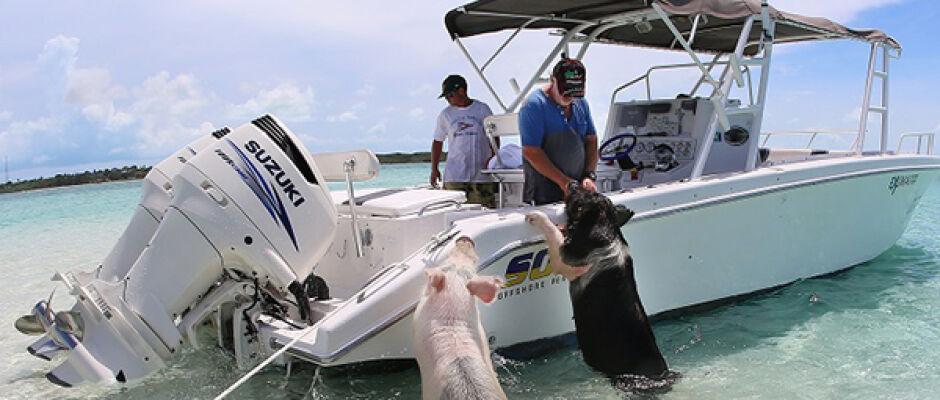 Conheça os porcos nadadores das Bahamas