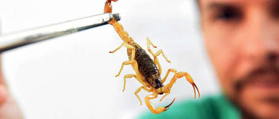 Mais de 500 pessoas foram picadas por escorpiões em Campo Grande