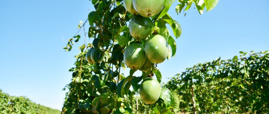 Com novo programa, fruticultor de MS que processa matéria-prima poderá conquistar mercado internacional