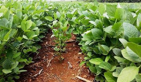 Até o próximo dia 31 de dezembro, o produtor tem a obrigação de realizar o cadastro no site do Iagro, da área plantada com soja