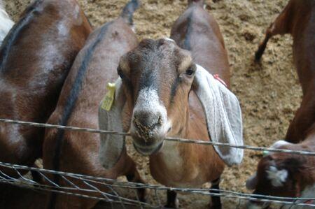 A obrigatoriedade da declaração do saldo e do ajuste de saldo dos rebanhos caprinos e ovinos foi estabelecida em outubro de 2018, quando a Agência publicou a Portaria Nº 3.607 divulgando as novas regras