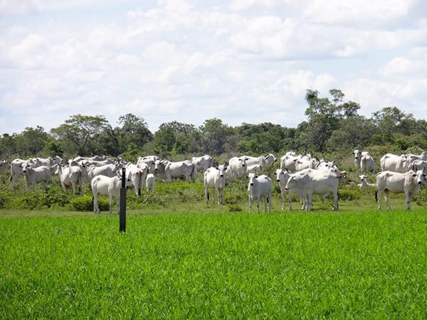 A pecuária bovina de corte, implantada há mais de 200 anos na região, tem ocasionado pouco impacto ao sistema, mas está deixando de ser sustentável e competitiva