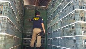 droga estava em um fundo falso de um caminhão destinado ao transporte de frangos