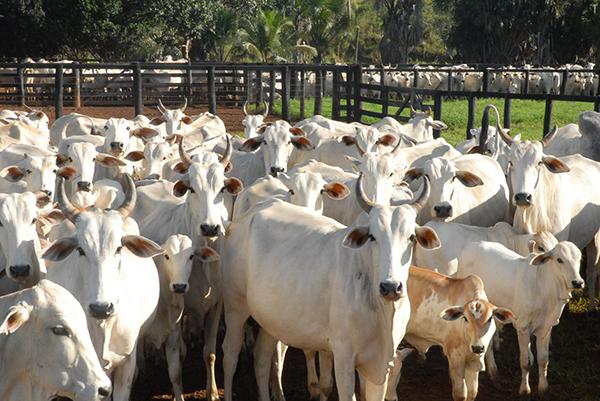 O Brasil não apresenta um foco da doença, desde 2006, e estudos do Centro Pan-Americano de Febre Aftosa (Panaftosa) mostram que o gado pode prescindir da vacina, após cinco anos