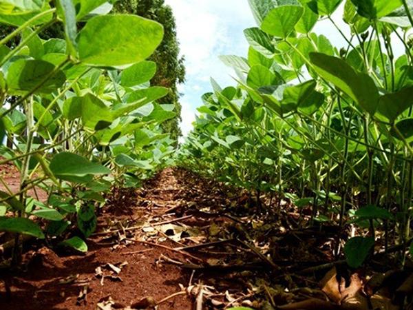 O pedido de extensão do prazo para plantio da soja leva em consideração a escassez de chuvas que impediu que os produtores pudessem concluir a semeadura no prazo regular, que seria 31 de dezembro próximo