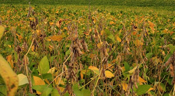 A estimativa inicial era de 10 milhões de toneladas, porém, devido à falta de chuvas o valor foi revisado com a quebra estimada em 11% com a colheita podendo chegar a 8,9 milhões de toneladas
