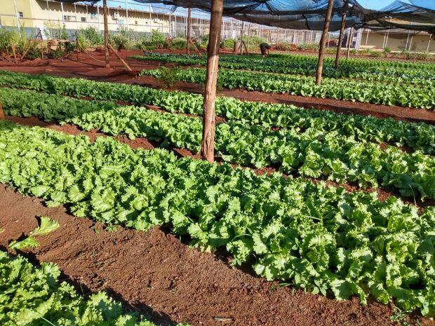 Os detentos atuam desde a capinagem na área, cultivo de mudas em viveiro, plantio, adubação e colheita