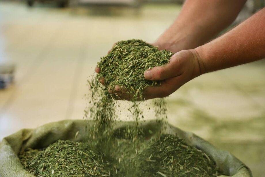 A produção de erva-mate no Estado atualmente alcança 1,5 mil toneladas por ano