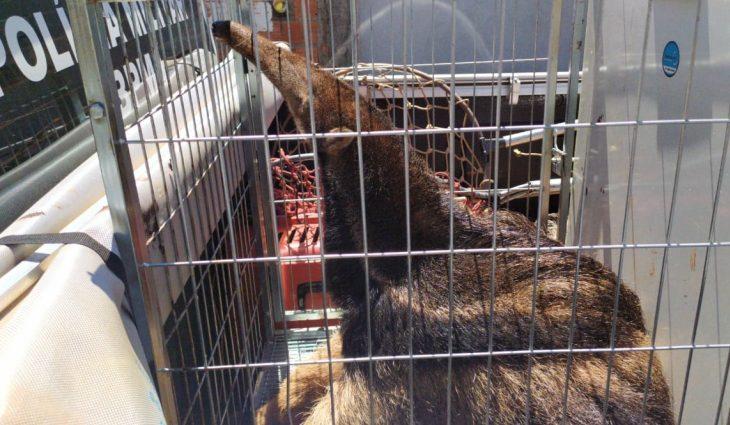 Um comerciante acionou a PMA após avistar o animal nas proximidades do seu estabelecimento, que fica na avenida Mascarenhas de Moraes