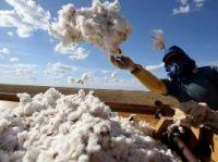 Trabalhador colhe algodão no Brasil