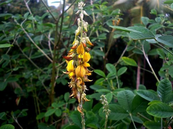 Crotalária é um género botânico pertencente à família Fabaceae com cerca de 300 espécies descritas, com a ressalva que nem todas incluídas realmente sejam do gênero