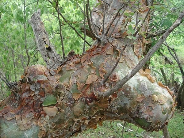 Árvore de umburana, planta da Caatinga que pode ser usada no combate ao mosquito Aedes aegypti