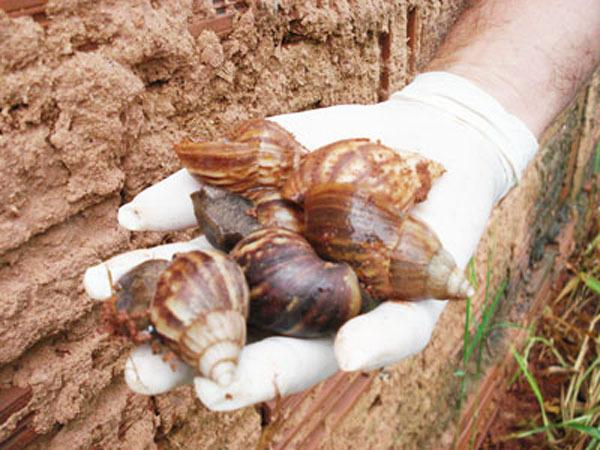 Segundo a Prof. Drª Daniele, Todos os caramujos que nós coletamos, das 07 (sete) regiões de Campo Grande, tem algum tipo de contaminação parasitária (vermes e protozoários)..