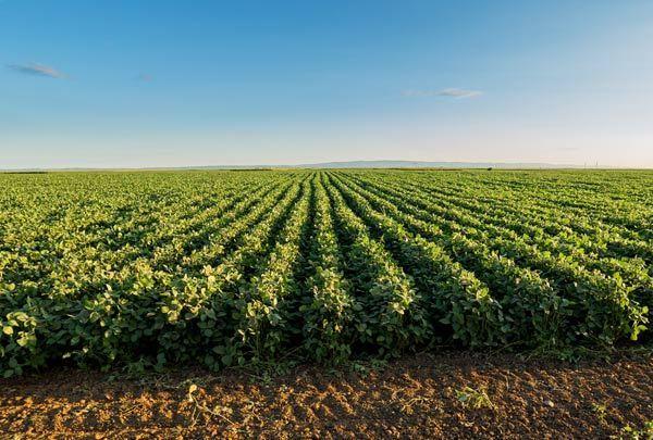 Além de não plantar o grão, os produtores devem eliminar todas as plantas voluntárias – conhecidas como guaxas ou tigueras