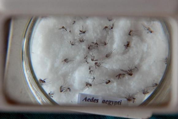 Mosquito da dengue, Aedes aegypti