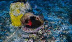 Pesquisadores e Greenpeace divulgam primeiras fotos de corais da Amazônia