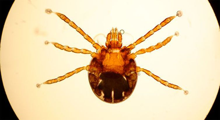 Larva de Rhipicephalus microplus/Agência Brasil