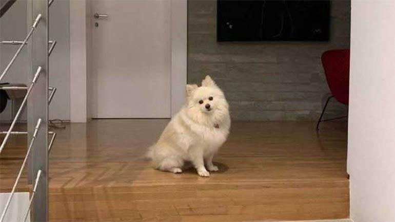 Nina, cadela de três anos da raça Lulu da Pomerania: na escada esperando o Ricardo Boechat