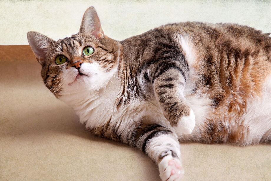 A veterinária Paula Genuíno, colaboradora da Hercosul, avalia que a obesidade compromete a qualidade de vida e longevidade dos pets