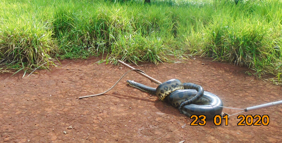 Na tarde de ontem (23), funcionários de uma hidetrelétrica em Indaiazinho, a 70 km de Cassilândia, encontraram uma sucuri-amarela (Eunectes notaeus) de 7 metros no meio das máquinas