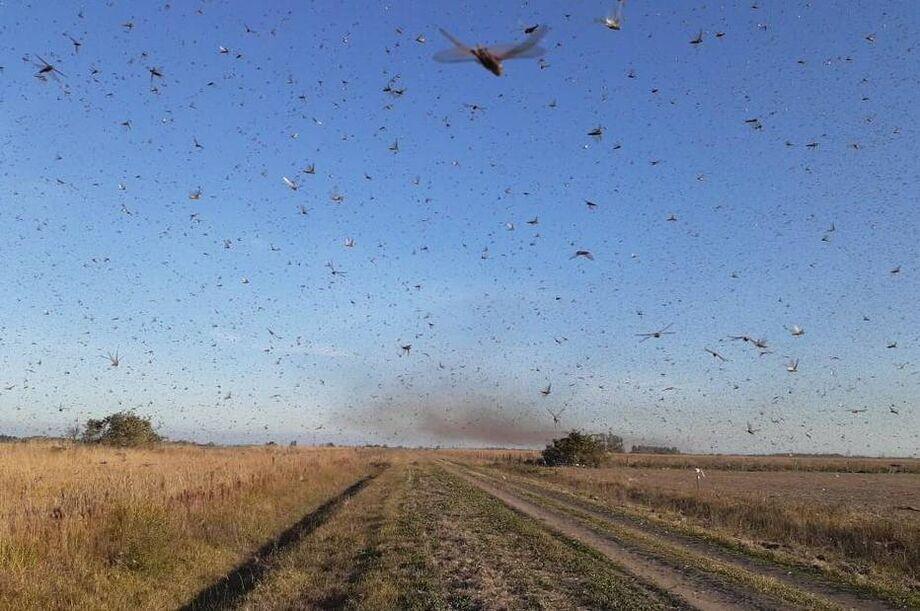 Autoridades argentinas informaram que população de gafanhotos diminuiu