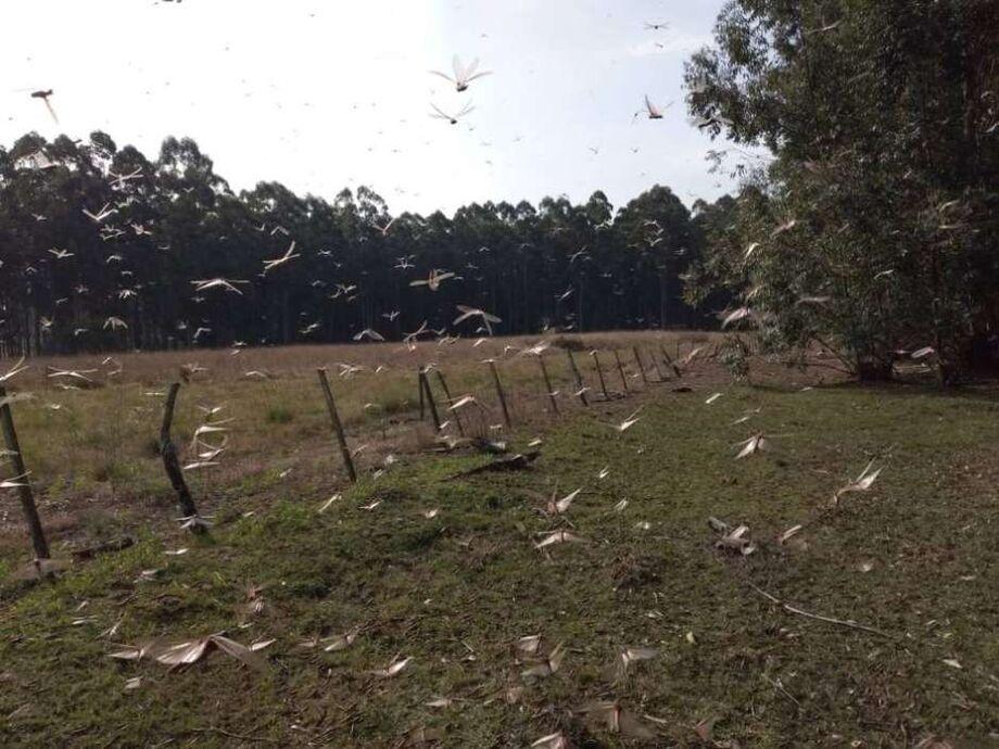 Governo argentino recebeu alerta sobre uma quarta onda de gafanhotos no País.
