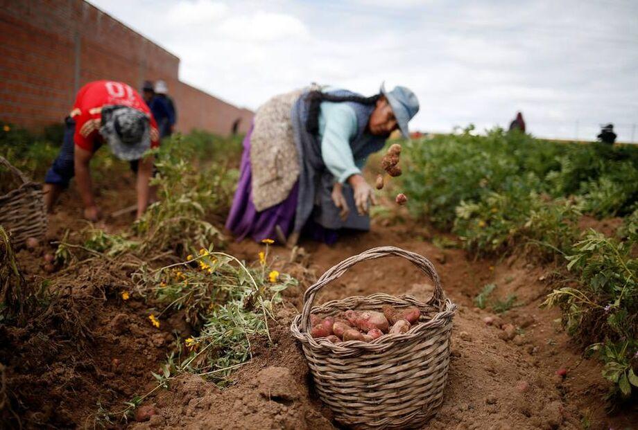 As cerca de 200 mil famílias que cultivam café no Peru também foram impactadas. Em alguns casos, o grão estragou na árvore.