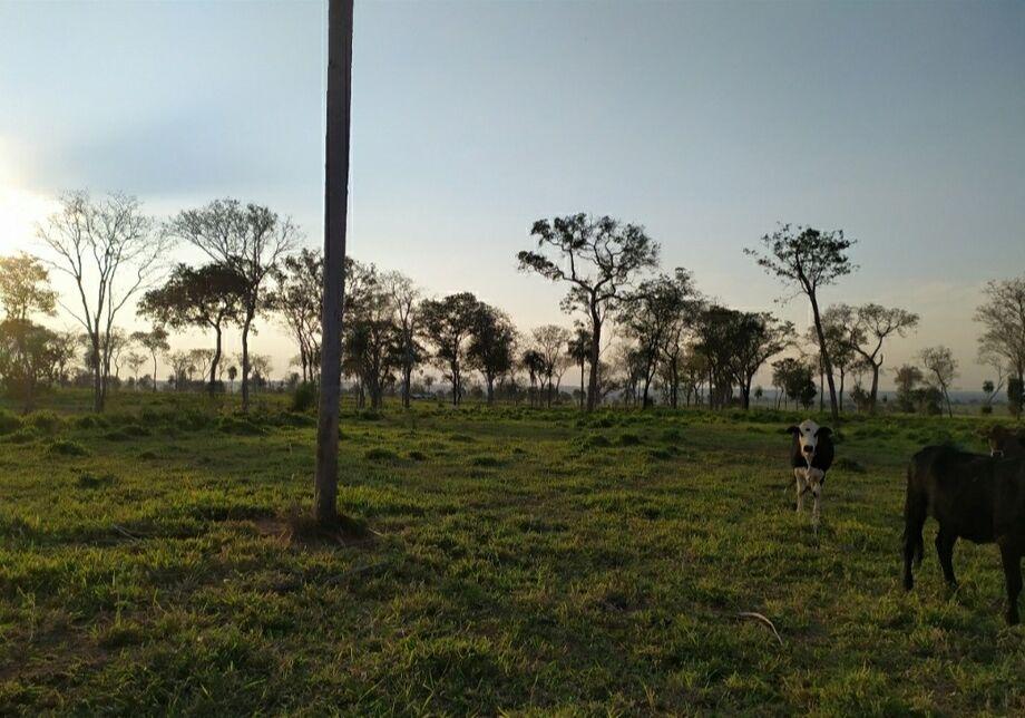 A área já estava com plantio de pastagem e criação de gado bovino