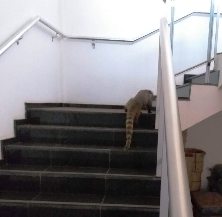 Quati foi encontrado recentemente subindo as escadas que dão acesso ao saguão do edifício-sede do Tribunal Regional do Trabalho da 24ª Região (TRT-MS)