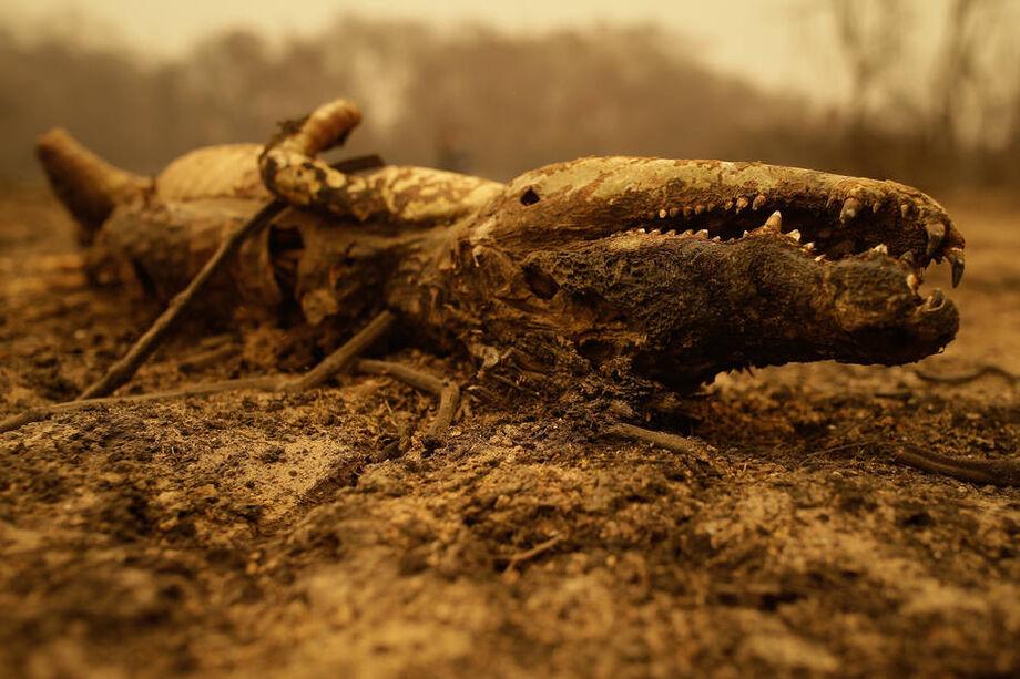 Jacaré morre carbonizado no Pantanal