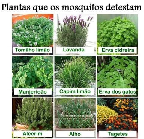 Planta repelente contra mosquito da dengue autos post - Plantas contra los mosquitos ...