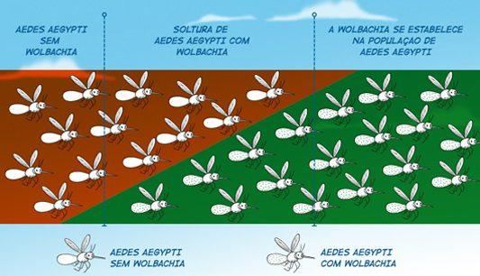 Infográfico mostra como ocorre a reprodução de mosquitos infectados no campo Foto: Fiocruz | MS | Reprodução)